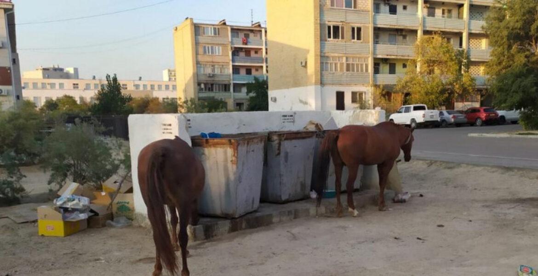 Лошади ищут еду у мусорных контейнеров в Актау